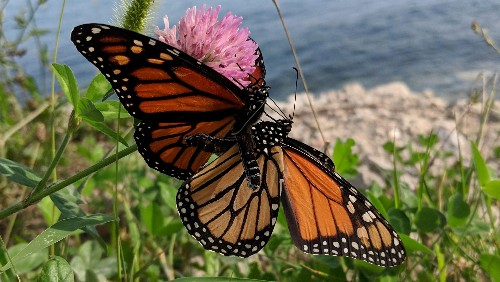Monarch butterfly populations in the west are down an order of magnitude from last year