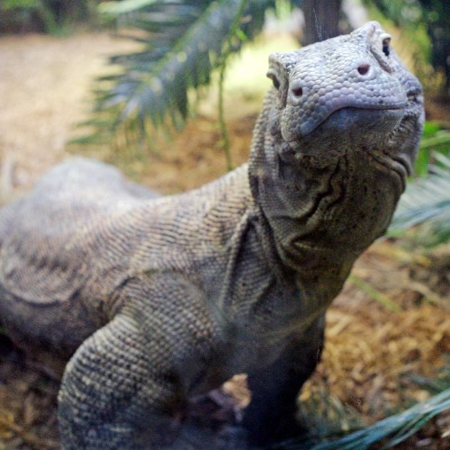 Komodo dragon blood might hold the key to the global antibiotic-resistance crisis