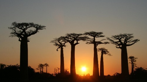 A living reminder of India and Africa's 4,000 years of shared history: The mighty Baobab tree
