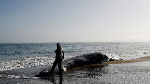 Why are gray whales starving in the Pacific
