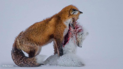 A stunning photo of two foxes tells a scary story about climate change