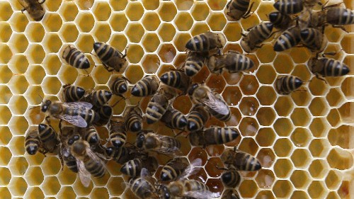 We are only beginning to understand the recent, mysterious honey bee die offs