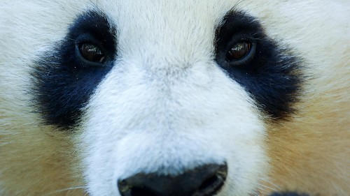 China builds a facial recognition app for pandas