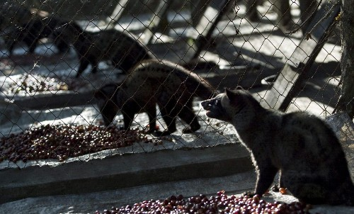 The world's most expensive coffee is a nightmare for the animals who produce it