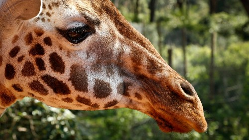 Giraffes, the safari animal long taken for granted, are close to extinction