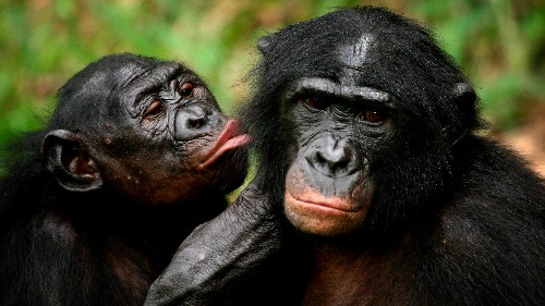 Scientists assumed that patriarchy was only natural. Bonobos proved them wrong