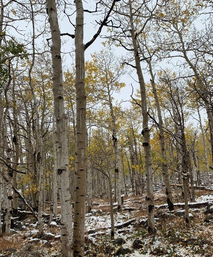 Pando, the world's largest organism, is dying thanks to humans