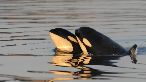 Scientists have a new theory about why female orcas live so long after they stop having babies