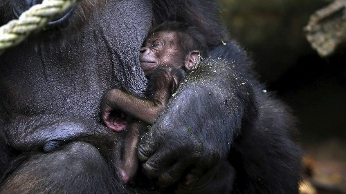 Maybe Piers Morgan should watch gorilla dads in action