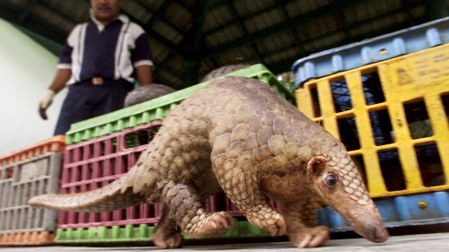 Huge seizures of pangolin scales highlight extinction threat