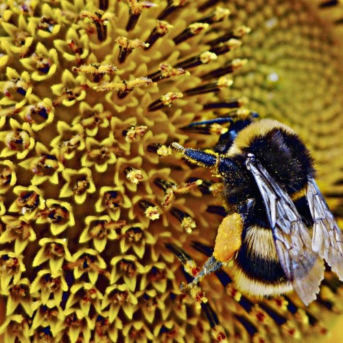 One in 10 bees crucial to Europe's ecosystem are threatened with extinction, and it's only getting worse