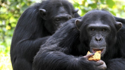 Scientists are studying chimpanzee food as a way to treat human diseases, including cancer