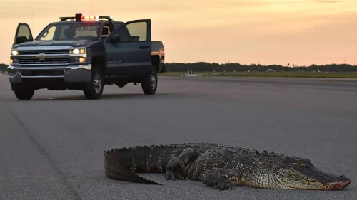 Florida is calling all alligator trappers