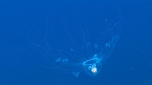 """Immortal"" jellyfish may help scientists cure brain disease"