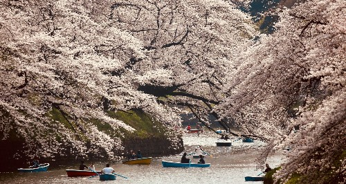 Confused by typhoons, Japan's cherry blossoms are blooming in autumn