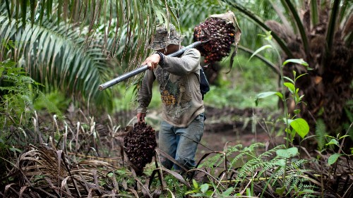 The ugly truth behind Guatemala's fast-growing, super-efficient palm oil industry