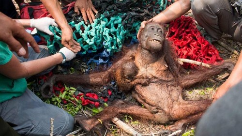 Orangutans are losing both health and habitat to palm oil fires