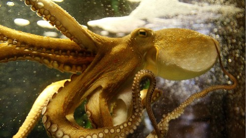 Octopus farming will soon be the norm. Here's the case against it