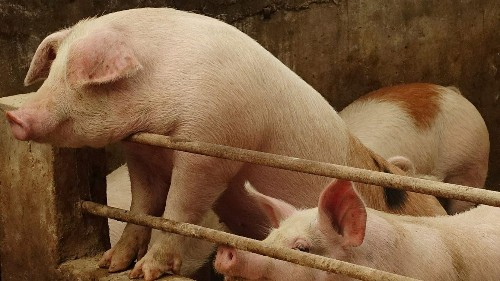 Swine fever in China may hit US soybean farmers hardest