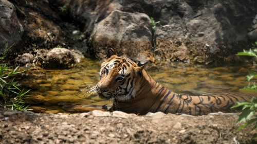 India lost at least 115 tigers in 2017