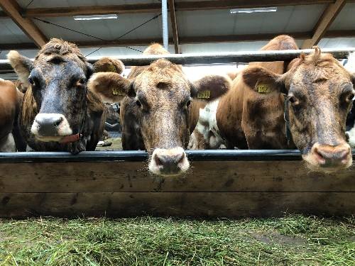 Cows are happier setting their own schedules, too