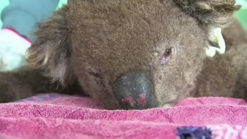 Meet 'Taylor': A nose for sniffing out koalas | Reuters Video