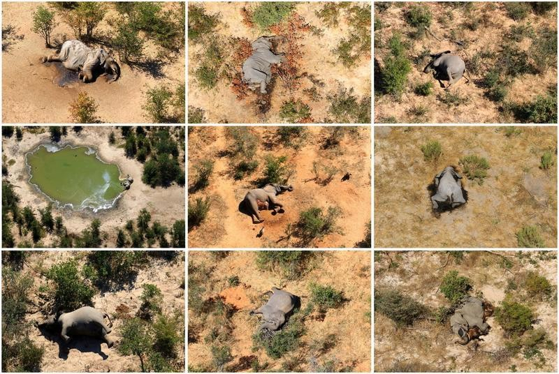 Botswana says cyanobacteria cause of mysterious elephant deaths