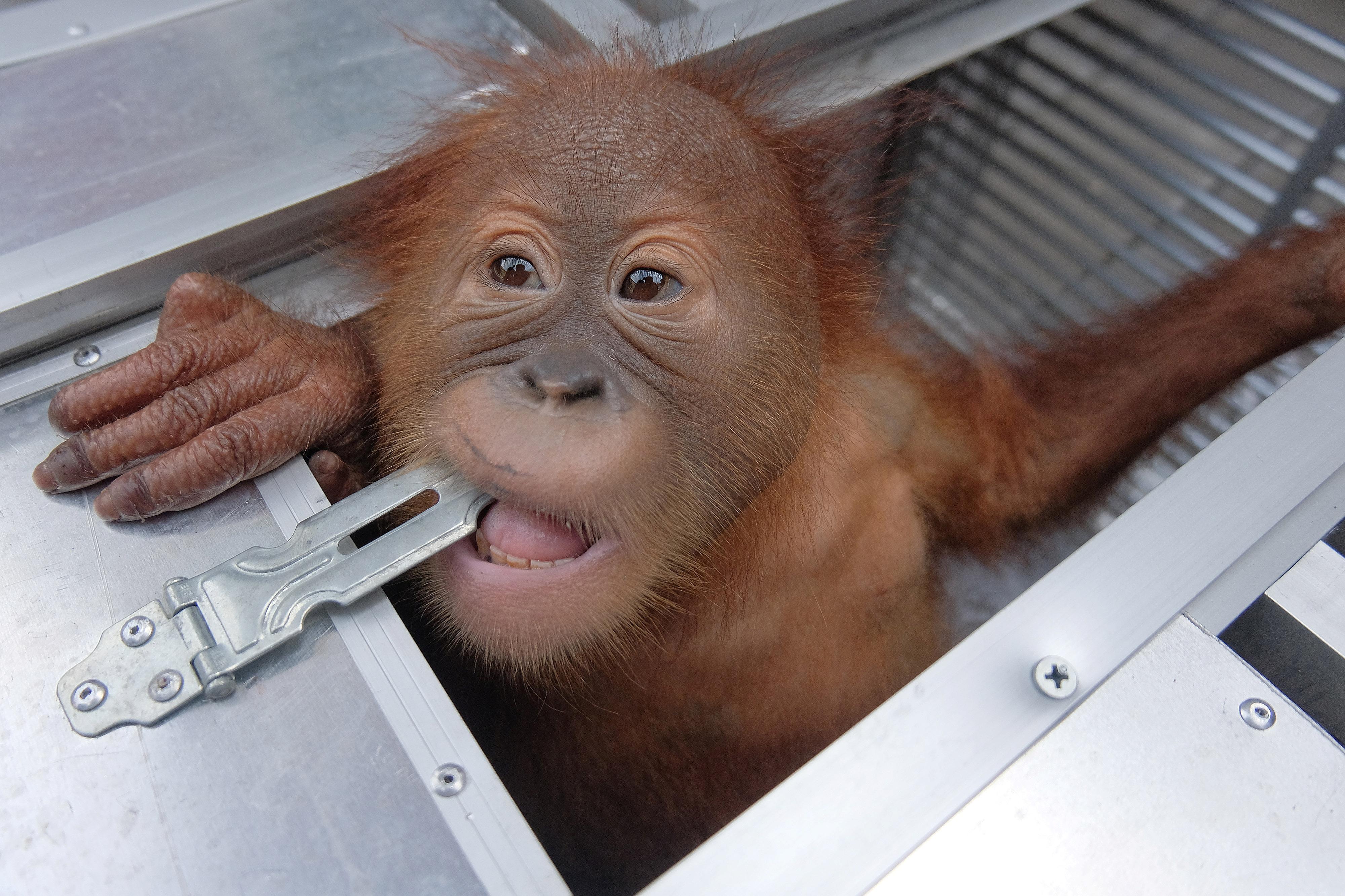 Indonesia detains Russian suspected of drugging, smuggling orangutan