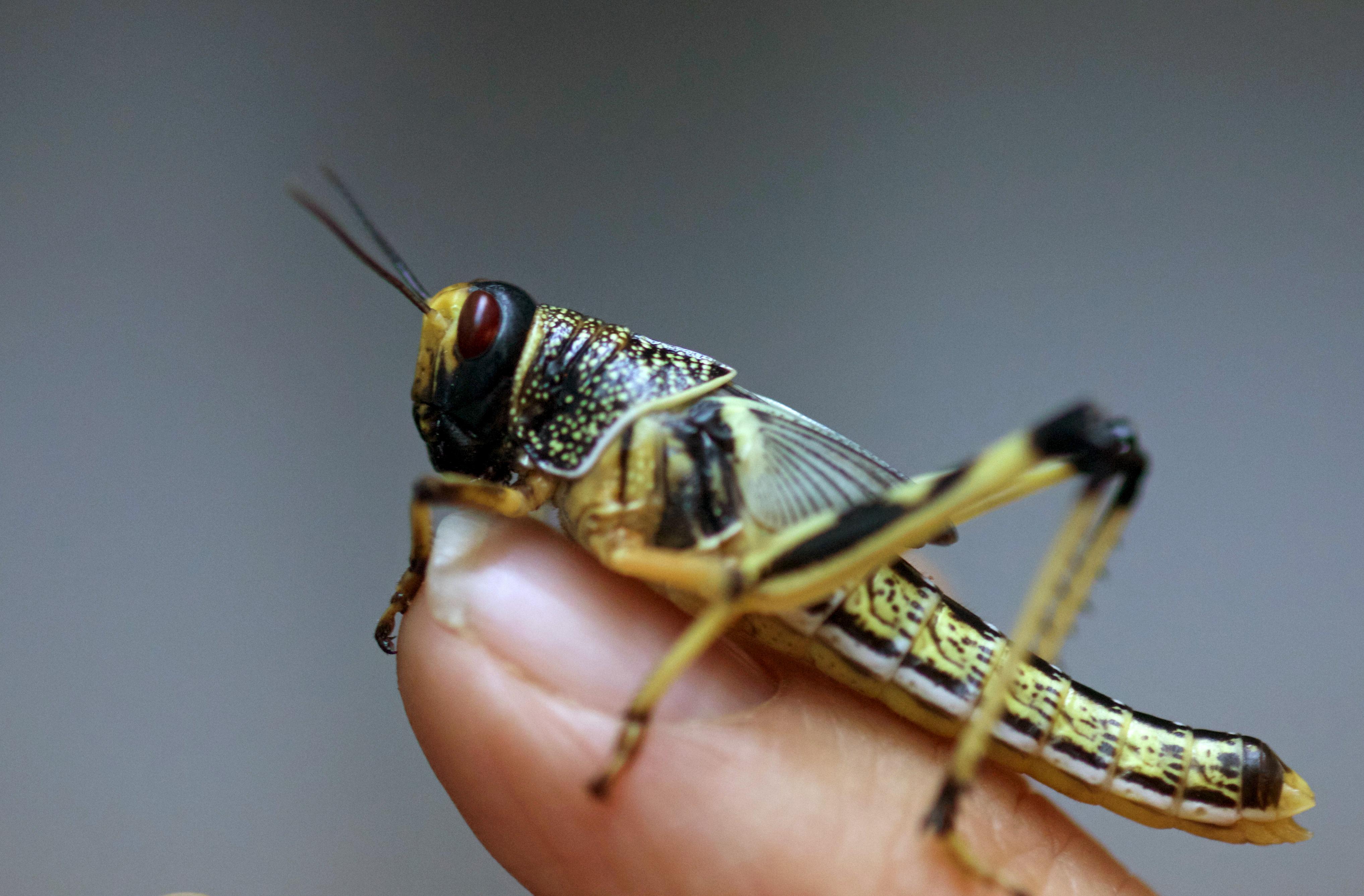 U.N. sees locust trouble brewing as Yemen war hampers pest control