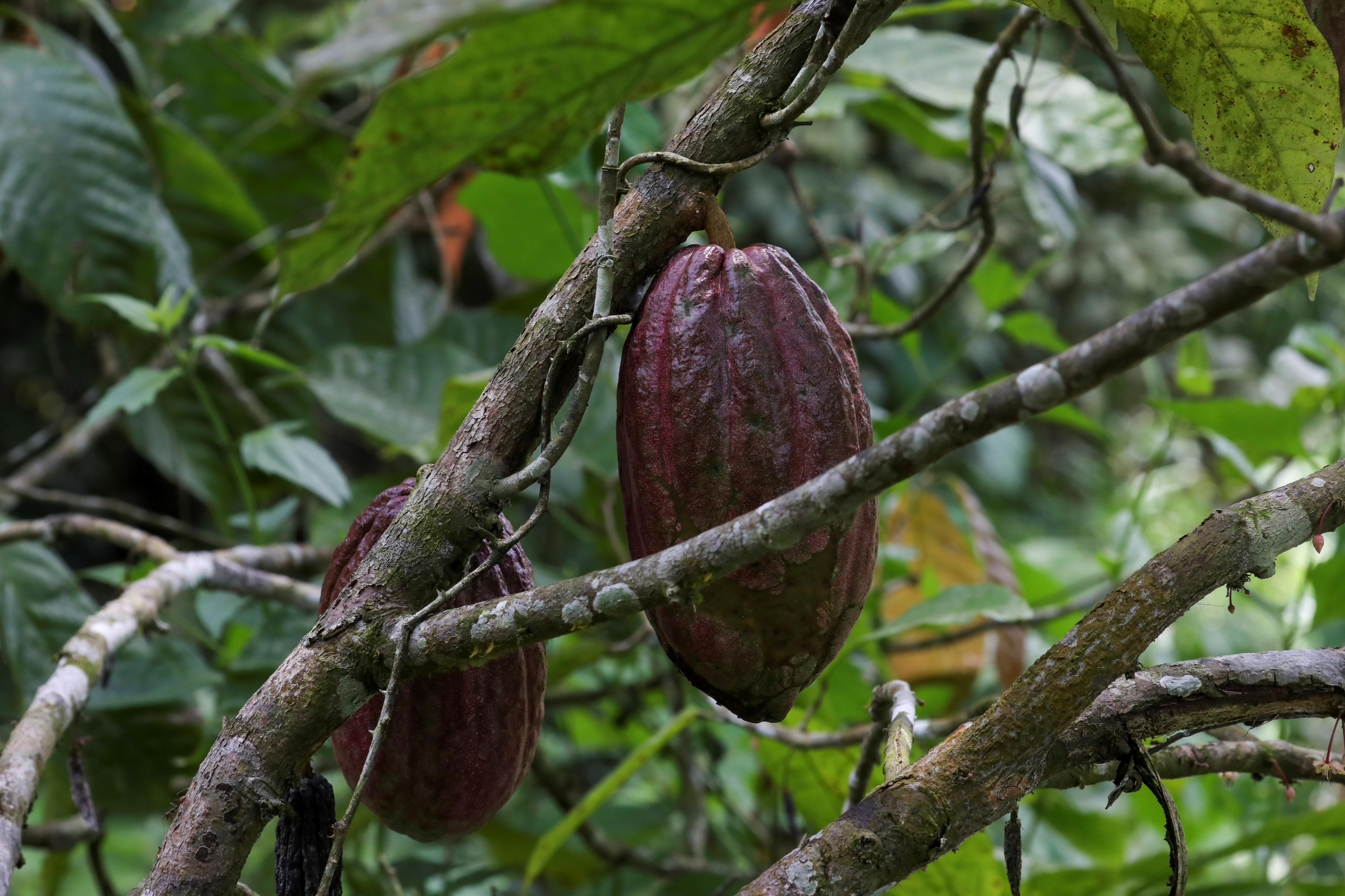 Ivory Coast drier spell, sun boost cocoa crop: farmers