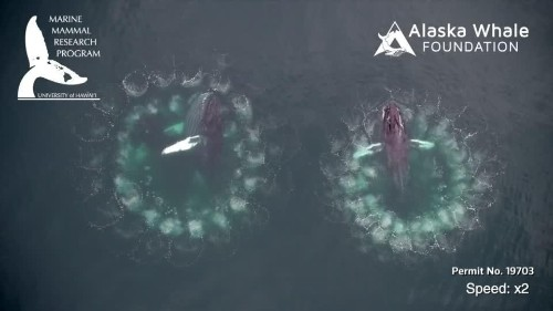 Humpback whales blow bubbles to trap their prey | Reuters Video