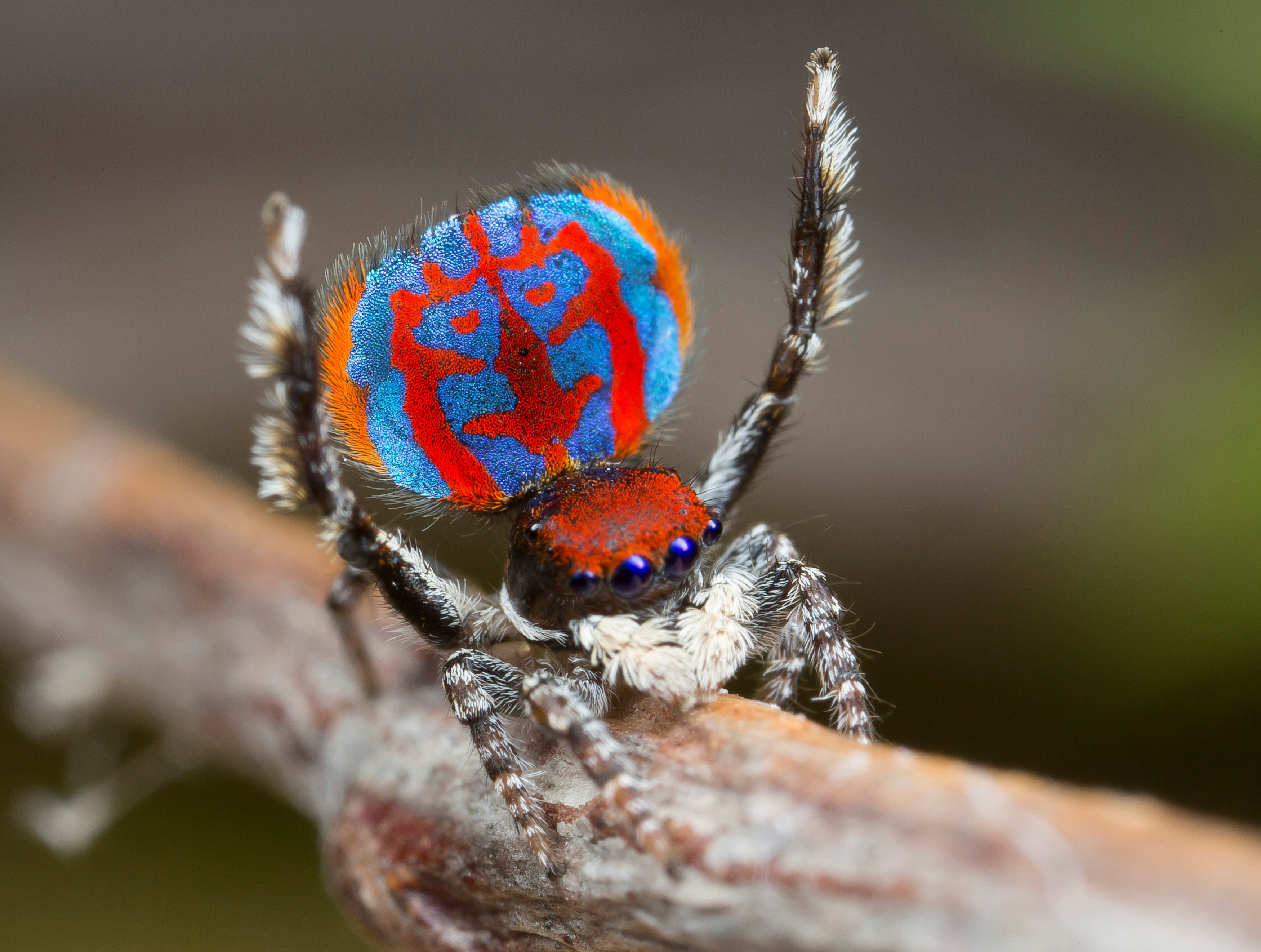 Save the last dance for me: Being cute not enough for this spider when choosing a mate