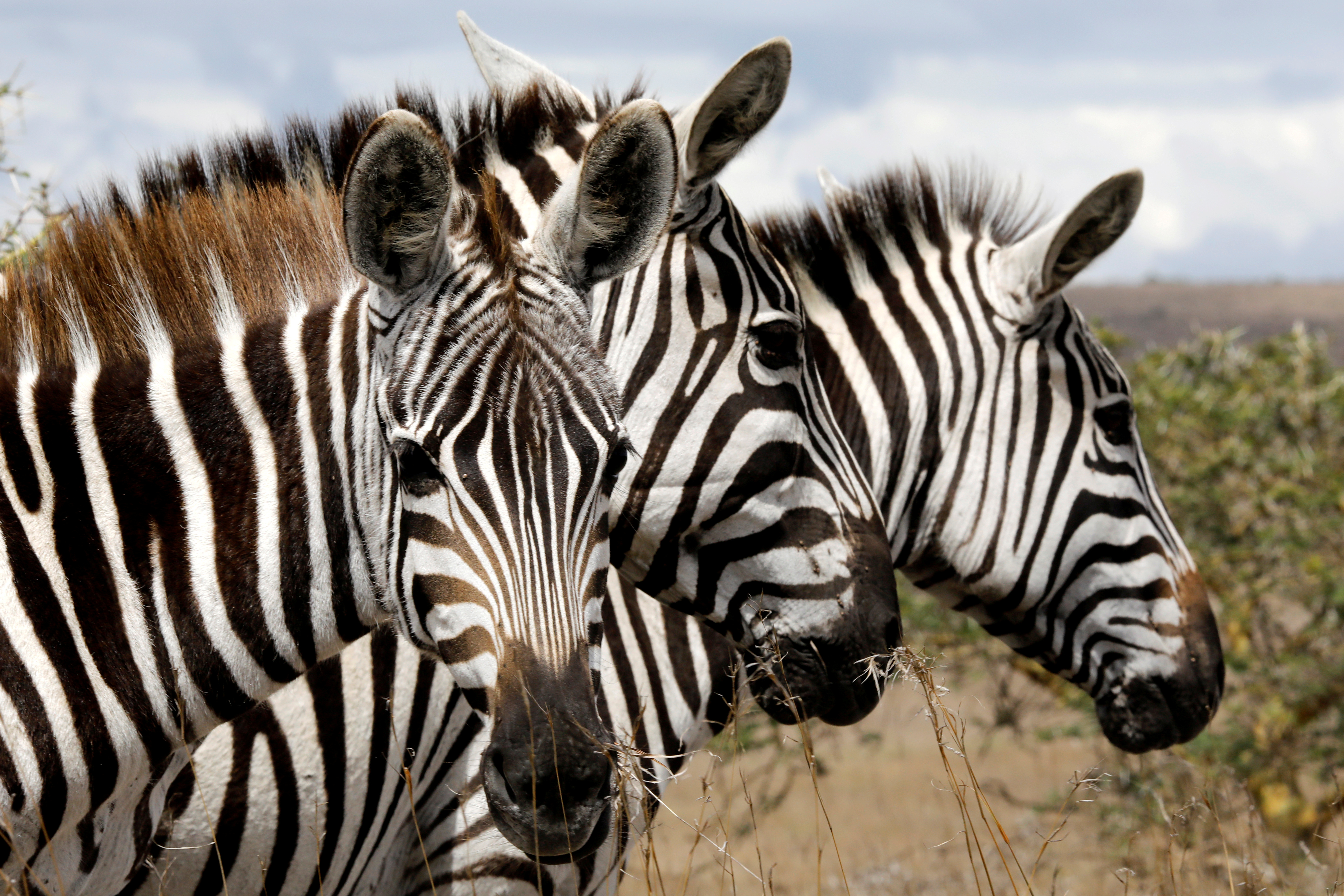 Why do zebras have stripes? They make bad landing strips for flies