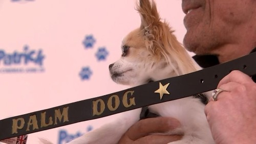 Chihuahua wins Cannes Palm Dog awards | Reuters Video