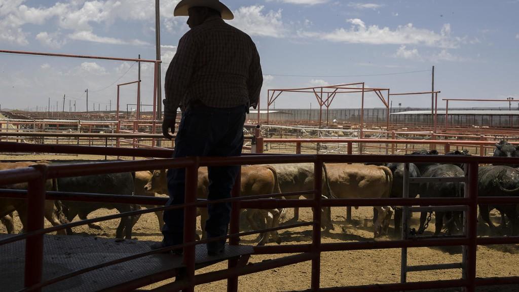 Coronavirus: l'impatience et la colère des éleveurs américains
