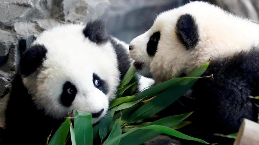 Hong Kong: enfin au calme, les pandas du zoo s'accouplent à nouveau