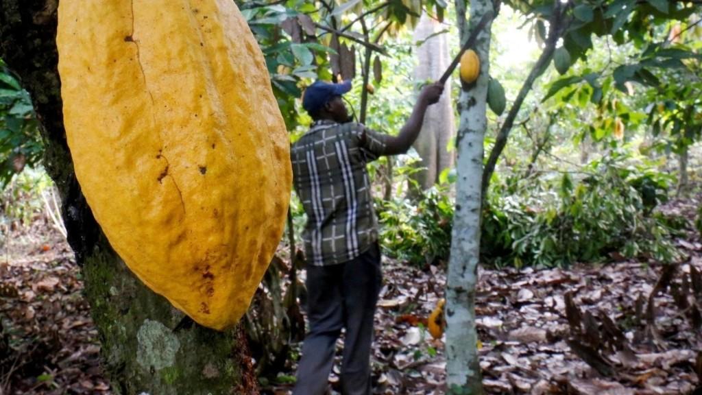 Afrique économie - Côte d'Ivoire: les producteurs de cacao restent pauvres
