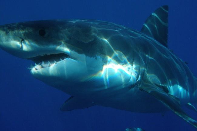 """Древние """"ясли"""" белых акул найдены у побережья Чили"""