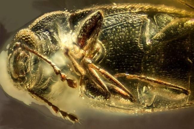 Российские ученые нашли в янтаре жука возрастом 39 млн лет