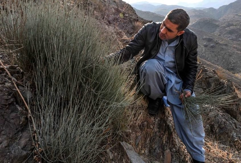 The wild shrub at the root of the Afghan meth epidemic