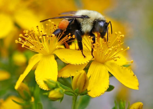 New study warns climate chaos driving rapid decline of bumblebees