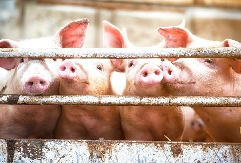 New flu virus reported in China highlights risk of animal-borne pandemic in factory farms