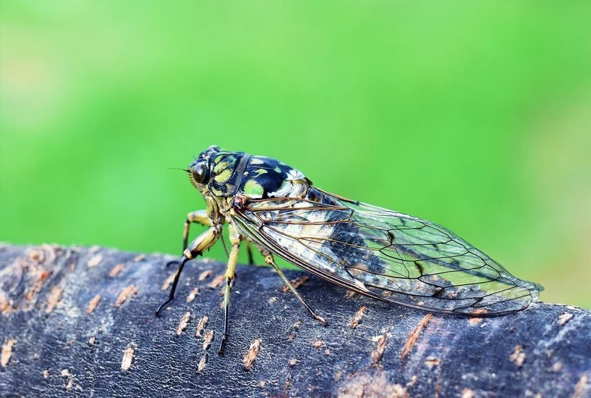 """How a mind-controlling, sexually transmitted fungus turns cicadas into """"zombies"""""""