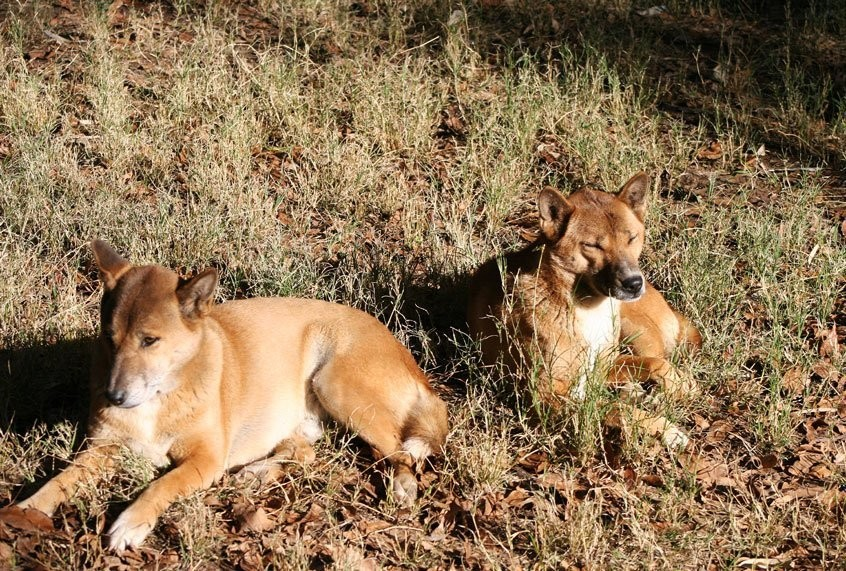 New Guinea singing dogs, renowned for their ethereal howls, are no longer believed to be extinct