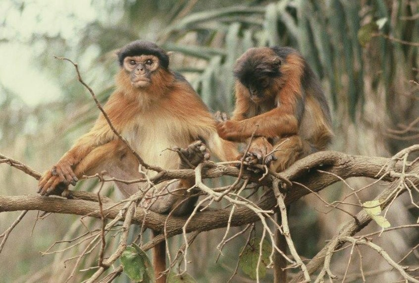 What I learned about human politics from studying colobus monkeys