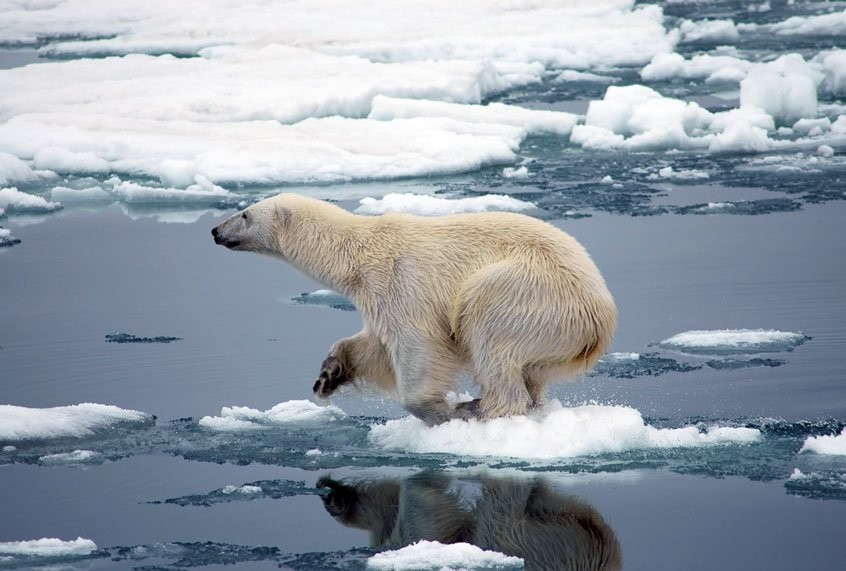 """""""Poster child for climate change"""": Study predicts polar bears will die off within 80 years"""