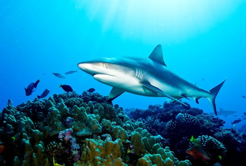 """Sharks are now """"functionally extinct"""" from reefs. That's bad news for our oceans"""