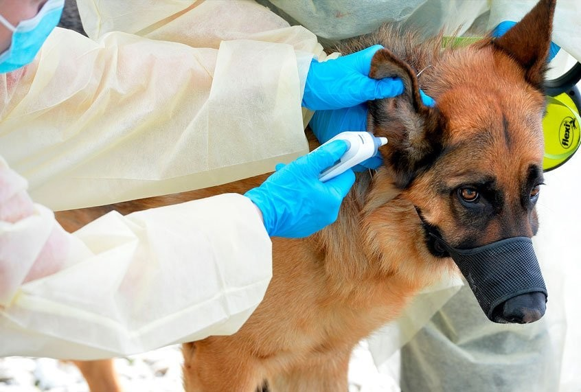 A German Shepherd is the first American dog to have the coronavirus