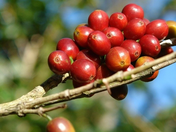 Does Terroir Matter in Coffee?