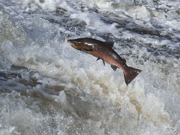 Salmon Struggles, Pea Powder Power, and More in Food Policy This Week